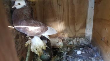 Fancy Pigeons, Budgie , Lovebirds Fishers.