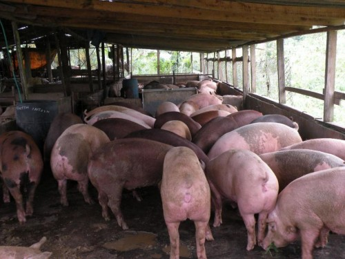 Seeking A Restuarant Or Meat Mart To Supply Pork