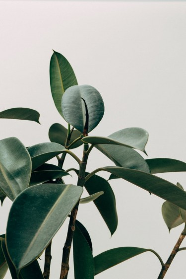 BEAUTIFUL PHILODENDRON PLANTS FOR SALE