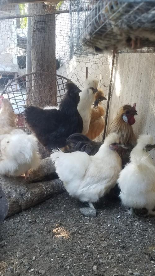 Silkie Chicken Birds