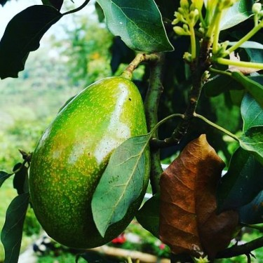 AVOCADO TREES FOR SALE