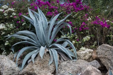 BEAUTIFUL AGAVE PLANTS FOR