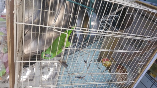 Amozon Parrot (male Approximately 3yrs Old)