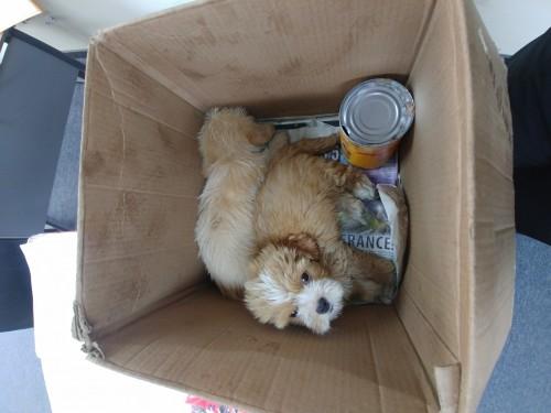 2 Shihtzu/poodle Pups