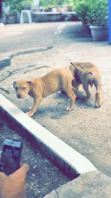 Bully Pups