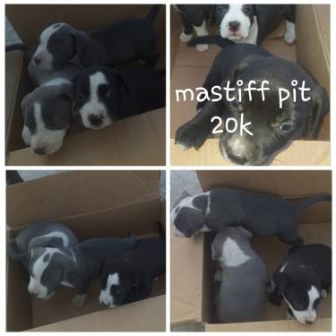 Mastiff Pit