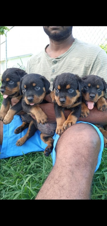 Rottweiler Puppies 6 Weeks Old  4 Male