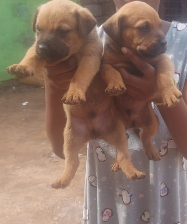 Rottweiler X Bullmastiff Puppies