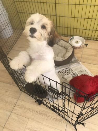 11 Months Old Male Shih Tzu Puppy