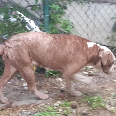 Boxer/ Am Bulldog