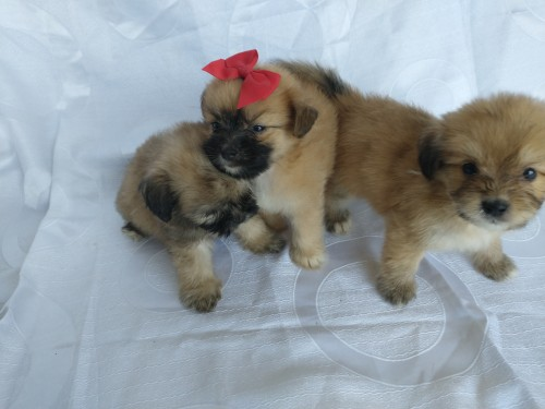 Terrier Mix Puppies For Sale