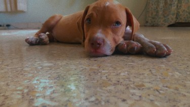 8Weeks Old Red Nose Male Pit Bull Puppy