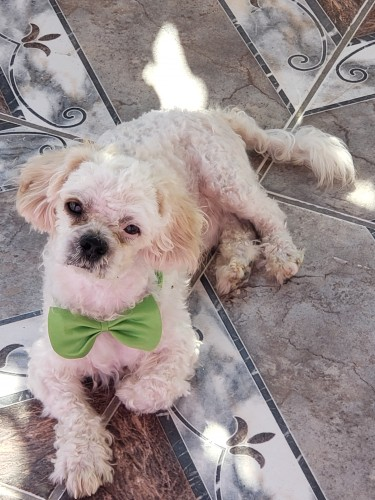 1yr Old Male Toy Poodle