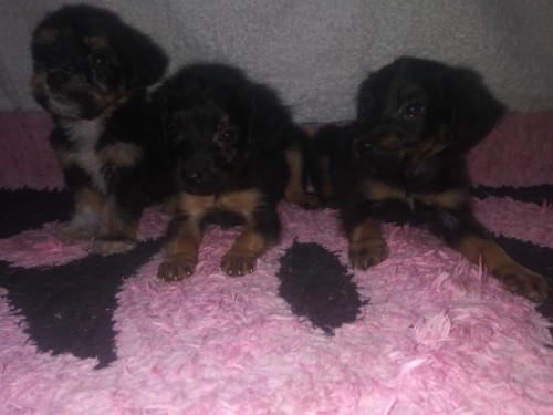 Rottweiler Poodle Mix Puppies