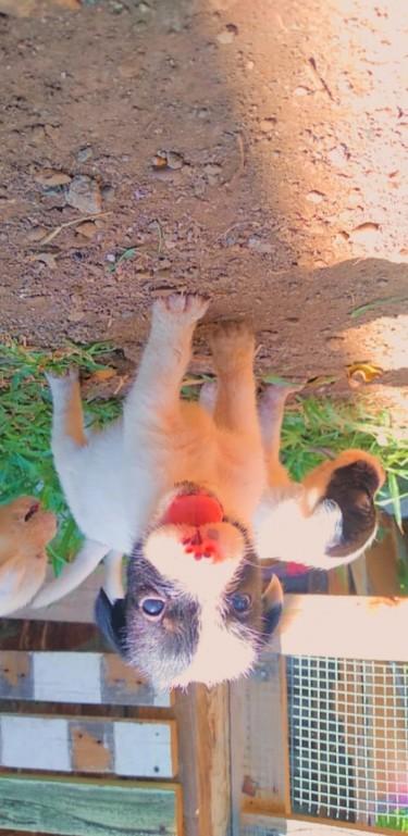 Seeking Adult Male Toy Breed Dog 6 Months/older
