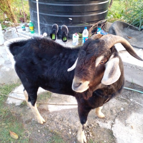 Ram Goat For Sale