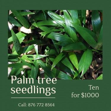 Palm Tree Seedlings