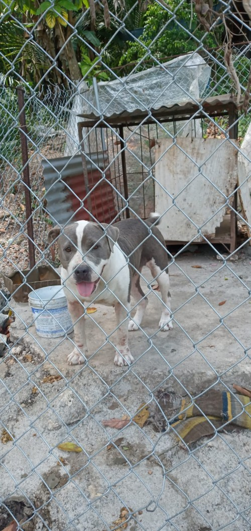 Pit Bull 3 Years Old