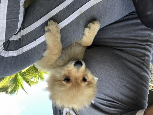 Pomeranian Male For Sale