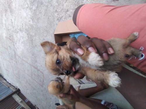Shorkie Puppies