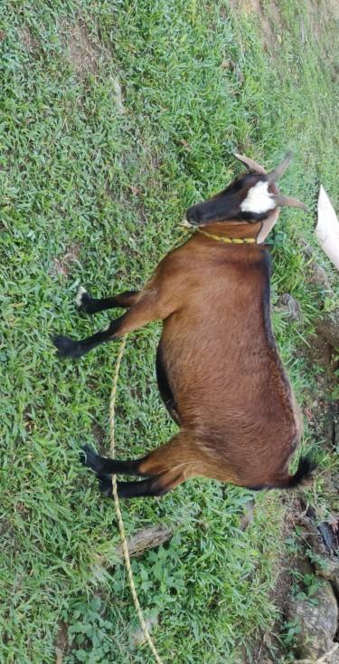 Goat Pregnant