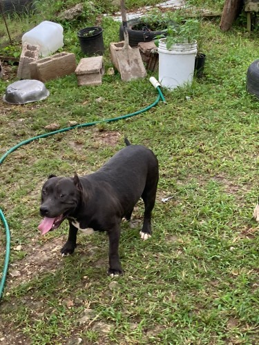 10 Months Old Black Female American Bully