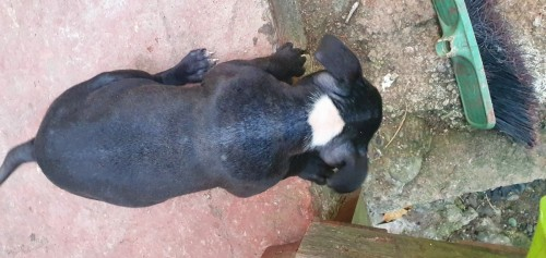 American Bully Up For Sale  ( Pocket)